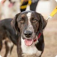 Adopt A Pet :: Caedan - Austin, TX