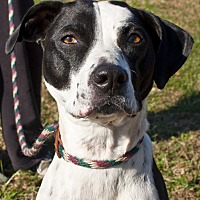 Dalmatian/Boxer Mix Dog for adoption in Tanner, Alabama - Chloe Bell