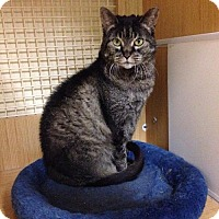 Domestic Shorthair Cat for adoption in Sunset, Louisiana - Ashley @ Petco North