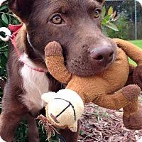 Adopt A Pet :: Dodger - SOUTHINGTON, CT