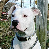 Adopt A Pet :: Stryder - Reisterstown, MD