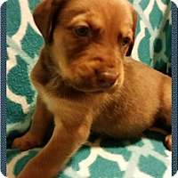 Adopt A Pet :: Holly's Puppy - Legolas - Midlothian, VA