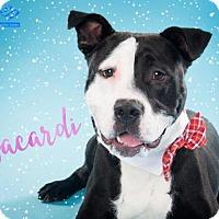 Adopt A Pet :: Montgomery Shelter Bacardi - Fredericksburg, VA