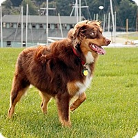 Australian Shepherd Mix Dog for adoption in Davenport, Iowa - Buster Brown