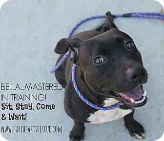 Pit Bull Terrier Mix Dog for adoption in Tampa, Florida - Bella
