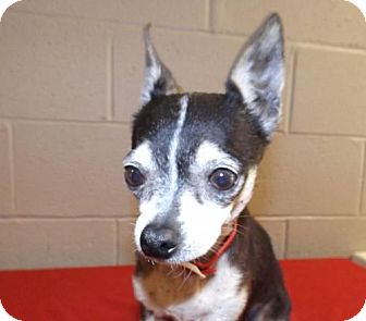 Chihuahua Mix Dog for adoption in Oxford, Mississippi - Finch - Foster Care
