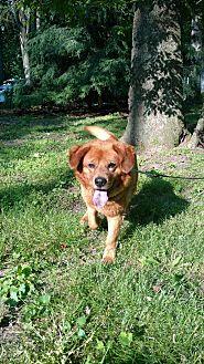 Golden Retriever Mix Dog for adoption in Capon Bridge, West Virginia - Chester