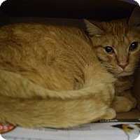 Domestic Shorthair Cat for adoption in Canastota, New York - Harley