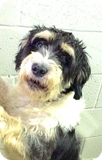 Schnauzer (Standard) Mix Dog for adoption in Jackson, Tennessee - Henry