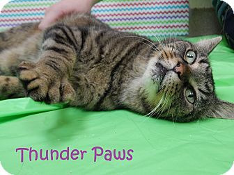 Domestic Shorthair Cat for adoption in Bucyrus, Ohio - Thunder Paws