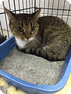 Domestic Shorthair Cat for adoption in Paducah, Kentucky - Darlin'