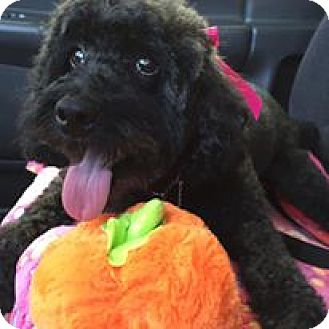 Poodle (Miniature)/Poodle (Miniature) Mix Dog for adoption in Rancho Mirage, California - Lola