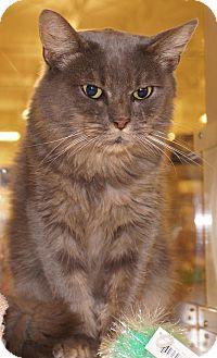 Domestic Mediumhair Cat for adoption in Salem, New Hampshire - Cinnamon