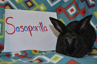 American for adoption in Erie, Pennsylvania - Sasaparilla