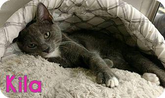 Domestic Shorthair Kitten for adoption in Bensalem, Pennsylvania - Kila