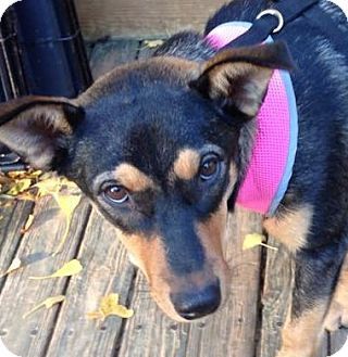 Shepherd (Unknown Type)/Husky Mix Dog for adoption in Olive Branch, Mississippi - Krissy