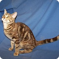 Adopt A Pet :: K-Ginger1-Angelina - Colorado Springs, CO