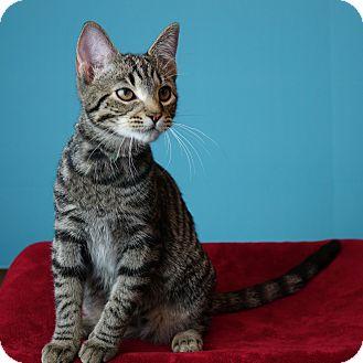Domestic Shorthair Kitten for adoption in Columbia, Illinois - Washington