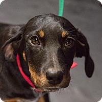 Adopt A Pet :: Polly - Oakville, CT