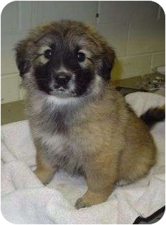 Leonberger/Great Pyrenees Mix Puppy for adoption in Litchfield ...
