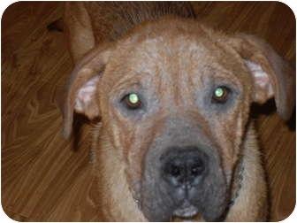 Shar Pei/Mastiff Mix Dog for adoption in Newport, Vermont - Chesney
