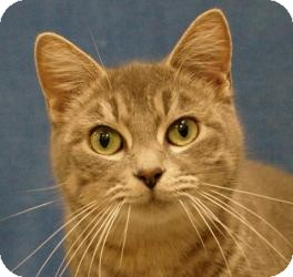 Domestic Shorthair Cat for adoption in Sacramento, California - Mya