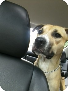 Rhodesian Ridgeback/American Staffordshire Terrier Mix Dog for adoption in selden, New York - Clancy