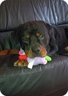 Rottweiler Dog for adoption in Northumberland, Ontario - Rocky