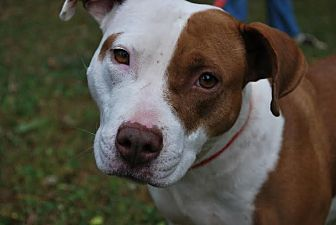 Pit Bull Terrier Dog for adoption in Asheboro, North Carolina - Beatrice