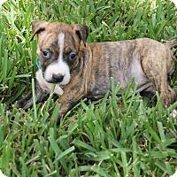 Adopt A Pet :: Bailey - Ft. Myers, FL