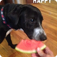 Adopt A Pet :: Happy--he's in NH! - Chichester, NH
