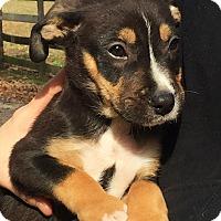 Adopt A Pet :: HERSHEY - Stamford, CT