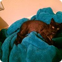 Adopt A Pet :: Teddy Bear - Los Angeles, CA