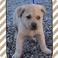 Adopt A Pet :: Darling Daffodil (Pom) - Harrisonburg, VA