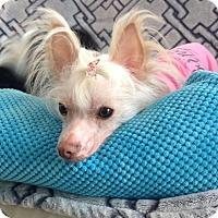 Adopt A Pet :: Fea-adoption pending - Mississauga, ON