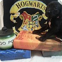 Adopt A Pet :: Zp litter - Hermione - Livonia, MI