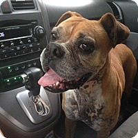 Adopt A Pet :: Rosie McGillicutty - Harmony, Glocester, RI