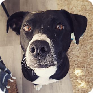 Border Collie/Staffordshire Bull Terrier Mix Dog for adoption in Vancouver, British Columbia - Stout