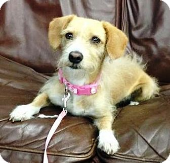 Terrier (Unknown Type, Medium) Mix Dog for adoption in San Diego, California - Lilo