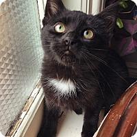 Adopt A Pet :: Pyewacket - Toronto, ON
