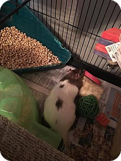 Rat for adoption in Greenfield, Indiana - April, May and June