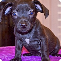Adopt A Pet :: Oscar ~ ADOPTED! - Brattleboro, VT