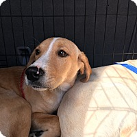 Adopt A Pet :: Callie - Woodstock, GA