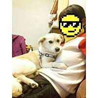 Adopt A Pet :: Snowy - Oakton, VA