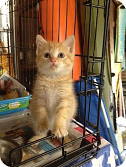 Manx Kitten for adoption in Allentown, Pennsylvania - Peep