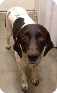 German Shorthaired Pointer Dog for adoption in Phoenix, Arizona - Shooter