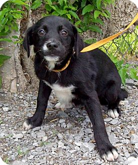 Labrador Retriever Mix Puppy for adoption in Glastonbury, Connecticut - FLIRT/Summer Special Pricing