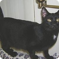Domestic Shorthair Cat for adoption in Miami, Florida - Big Dot