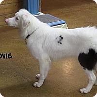 Adopt A Pet :: Lovie Howl - Post Falls, ID