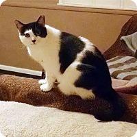 American Shorthair Cat for adoption in McKenna, Washington - Gabby